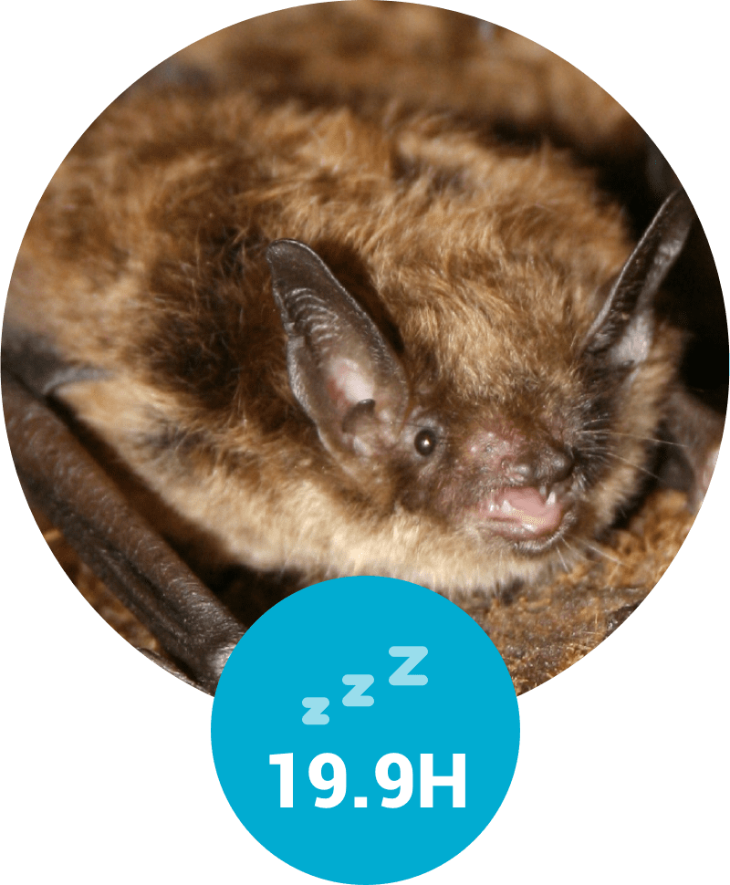 Hours of sleep for a bat